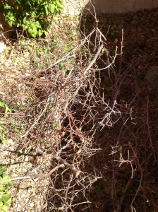 Some of the dead bougainvillea branches