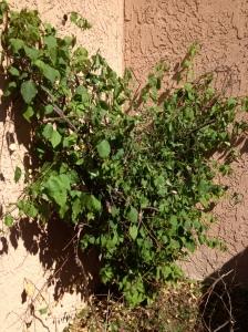 Newly trimmed bush